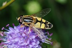 Helophilus trivittatus